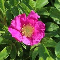 Apfelrose / Kartoffelrose / Hagebutte - Rosa rugosa