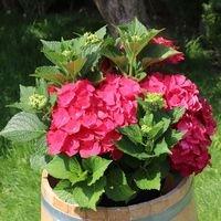 Ballhortensie 'Masja' / 'Sibilla' (rot) - Hydrangea macrophylla 'Masja' / 'Sibilla' (rot)