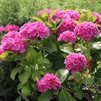 Ballhortensie (rosa) - Hydrangea macrophylla (rosa)