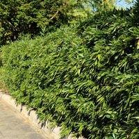 Bambus / Chinarohrgras / Muriels Schirmbambus - Fargesia murielae