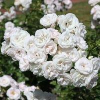Beetrose 'Aspirin' ® - Rosa 'Aspirin' ® ADR-Rose