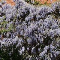 Blauregen / Glyzine / Wisterie / Chinesischer Blauregen - Wisteria sinensis