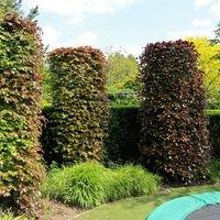 Blutbuche 'Purpurea' - Fagus sylvatica 'Purpurea'