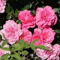 Bodendecker-Rose 'Knirps' ® - Rosa 'Knirps' ® ADR-Rose