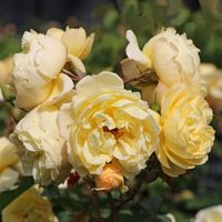 Bodendecker-Rose 'Sonnenschirm' ® - Rosa 'Sonnenschirm' ®