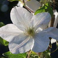Clematis 'Madame Le Coultre' - Clematis 'Madame le Coultre'