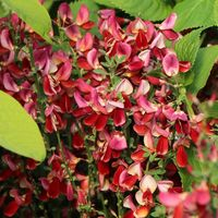 Edelginster 'Burkwoodii' - Cytisus scoparius 'Burkwoodii'