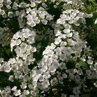Frühlingsspiere / Feinlaubige Strauchspiere - Spiraea thunbergii