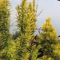 Gelbe Säuleneibe 'Fastigiata Aureomarginata' - Taxus baccata 'Fastigiata Aureomarginata'