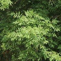 Gewöhnliche Esche / Gemeine Esche / Hohe Esche - Fraxinus excelsior
