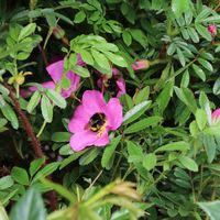 Glanzblättrige Rose - Rosa nitida