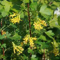 Goldjohannisbeere - Ribes aureum