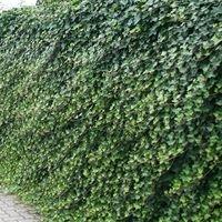 Großblättriger Irischer Efeu - Hedera hibernica
