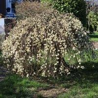 Hängende Kätzchenweide 'Pendula' / 'Kilmarnock' - Salix caprea 'Pendula' / 'Kilmarnock'