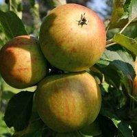 Herbstapfel 'Cox Orange' Renette - Malus 'Cox Orange' Renette