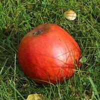 Herbstapfel 'Holsteiner Cox' - Malus 'Holsteiner Cox'