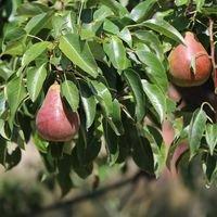 Herbstbirne 'Clapps Liebling' - Pyrus communis 'Clapps Liebling'