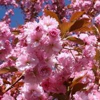 Japanische Nelkenkirsche 'Kanzan' - Prunus serrulata 'Kanzan'