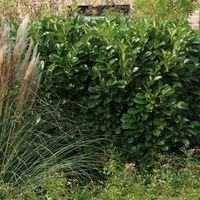 Kirschlorbeer / Lorbeerkirsche 'Caucasica' - Prunus laurocerasus 'Caucasica'