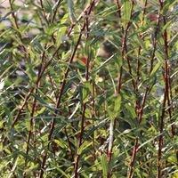 Kugelweide 'Nana' - Salix purpurea 'Nana'