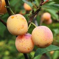 'Mirabelle von Nancy', 'Doppelte Mirabelle' - Prunus 'Mirabelle von Nancy'