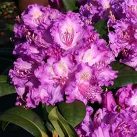 Rhododendron 'Alfred' - Rhododendron Hybride 'Alfred'