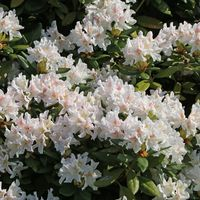 Rhododendron 'Cunningham's White' - Rhododendron Hybride 'Cunningham's White'