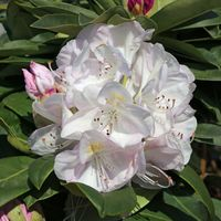 Rhododendron 'Gomer Waterer' - Rhododendron Hybride 'Gomer Waterer'