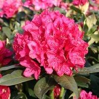 Rhododendron 'Nova Zembla' - Rhododendron Hybride 'Nova Zembla'