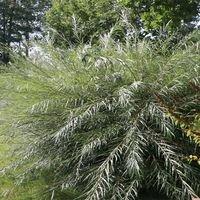 Rosmarinweide - Salix rosmarinifolia