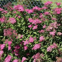 Rote Sommerspiere 'Anthony Waterer' - Spiraea bumalda 'Anthony Waterer'