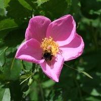 Sandrose / Carolina-Rose / Wiesenrose - Rosa carolina