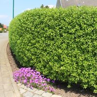 Schwarzgrüner Liguster 'Atrovirens' - Ligustrum vulgare 'Atrovirens'