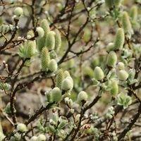 Schweizer Kätzchenweide - Salix helvetica