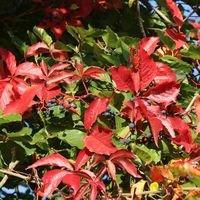 Selbstklimmender Mauerwein 'Engelmannii' - Parthenocissus quinquefolia 'Engelmannii'