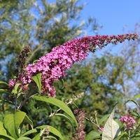 Sommerflieder / Schmetterlingsstrauch 'Pink Delight' - Buddleja davidii 'Pink Delight'