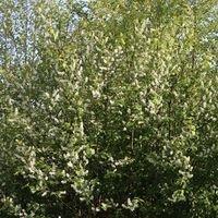 Spätblühende Traubenkirsche - Prunus serotina