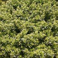 Spindelstrauch / Kriechspindel 'Emerald'n Gaiety' - Euonymus fortunei 'Emerald'n Gaiety'