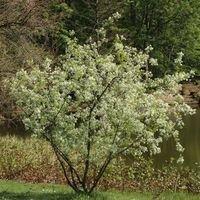 Steinweichsel / Felsenkirsche / Weichselkirsche - Prunus mahaleb
