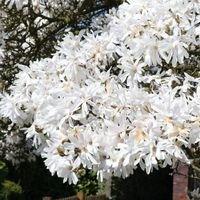 Sternmagnolie - Magnolia stellata
