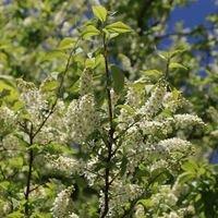 Traubenkirsche (frühe) - Prunus padus