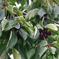 Vogelkirsche / Süßkirsche - Prunus avium