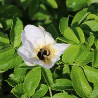Weiße Apfelrose 'Alba' /- Kartoffelrose /- Hagebutte - Rosa rugosa 'Alba'