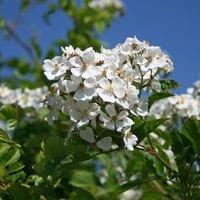 Wildrose Vielblütige Rose / Büschelrose - Rosa multiflora