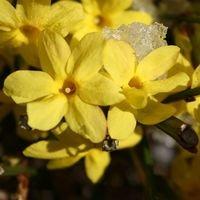 Winterjasmin - Jasminum nudiflorum