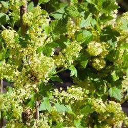 Alpen-Johannisbeere 'Schmidt' - Ribes alpinum 'Schmidt'