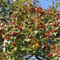 Apfeldorn / Lederblättriger Weißdorn 'Carrierei' - Crataegus x lavallei 'Carrierei'