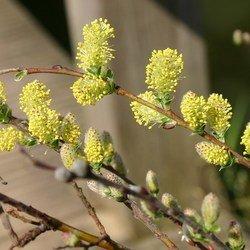Silber-Kriechweide - Salix repens ssp. argentea