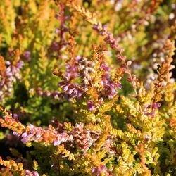 Besenheide / Sommerheide 'Boskoop' - Calluna vulgaris 'Boskoop'