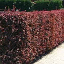 Blutberberitze / Rote Heckenberberitze 'Atropurpurea' - Berberis thunbergii 'Atropurpurea'